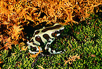 Green and black poison arrow frog, Panama