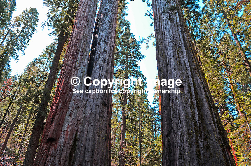Giant sequoia trees, aka as California redwoods, in Calaveras Big Trees State Park, California, USA, 201304211684<br /> <br /> Copyright Image from Victor Patterson, 54 Dorchester Park, Belfast, UK, BT9 6RJ<br /> <br /> Tel: +44 28 9066 1296<br /> Mob: +44 7802 353836<br /> Voicemail +44 20 8816 7153<br /> Skype: victorpattersonbelfast<br /> Email: victorpatterson@me.com<br /> Email: victorpatterson@ireland.com (back-up)<br /> <br /> IMPORTANT: If you wish to use this image or any other of my images please go to www.victorpatterson.com and click on the Terms &amp; Conditions. Then contact me by email or phone with the reference number(s) of the image(s) concerned.