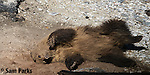 Grizzly bear cub rolling in dirt. Yellowstone National Park, Wyoming.