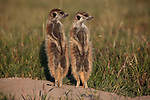 Two meerkats watch out for predators whilst warming themselves up against the rising sun.