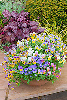 Viola in container pot garden with purple Heuchera on stone patio with shrubs