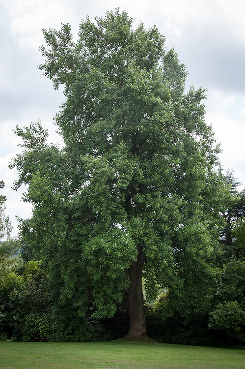 Tulip tree (Liriodendron tulipfera), Standen House, Sussex, late July.