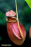 CA16-018c  Pitcher Plant - Borneo - Nepenthes bicalcarata