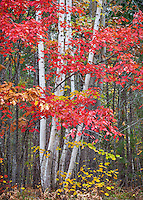 Pictured Rocks National Lakeshore, MI: Red maple tree and white birch trunks in fall forest
