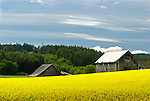 Barns and mustard field, Washington county, Oregon