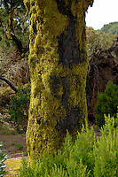 Moss on bark of pine tree, El Hierro forest, Canary Islands, Spain.