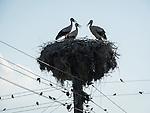 Storks nesting on top of power pole, Mlearovo, Turkey