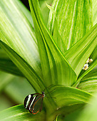 An exquisite little Thick-tipped Greta is nestled in the striped, thick light green leaves of a tropical plant.