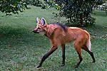Animais. Mamiferos. Lobo-Guará (Chrysocyon brachyurus). Foto de Juca Martins.