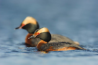Mated pair of adult Horned Grebes (Podiceps auritus) in breeding (alternate) plumage. Southeast Alberta, Canada. May.