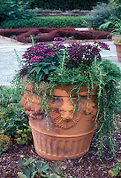 Heliotrope and Rosemary herb in Lion head terracotta planter, fragrant plants in big huge container in garden