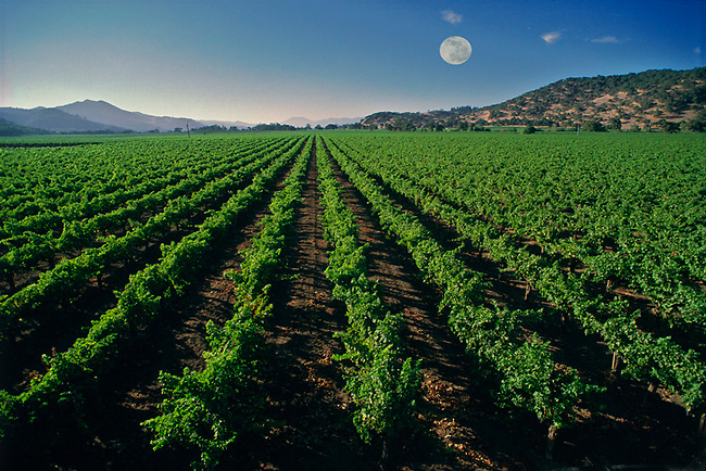 Vineyard near Yountville