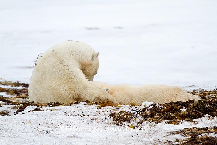 01874-12508 Polar bears (Ursus maritimus) mother nursing cub, Churchill Wildlife Management Area, Churchill, MB Canada