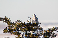 00817-00702 Gyrfalcon (Falco rusticolus) white phase in spruce tree Churchill Wildlife Management Area Churchill MB