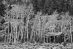 ramshackle cabin, aspen, trees, spring, April, high country, Poudre Canyon, American West, Colorado, USA