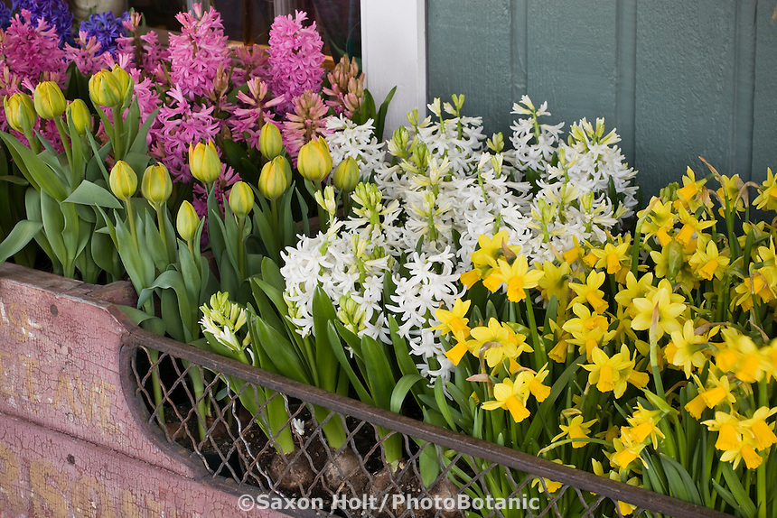 Window box display of cut flower, forced bulbs (Hyacinth, Tulips, daffodils) Tulip Festival, Skagit Valley Washington