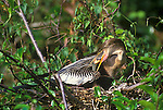 Anhinga Mother feeding Chick, Everglades NP, Florida, USA