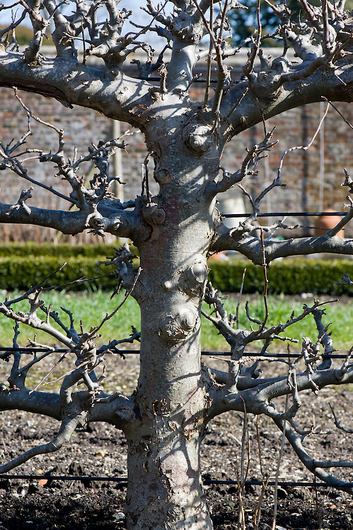 Close-up of the fruiting spurs on a mature espalier apple tree, West Dean Gardens, Sussex, early March.
