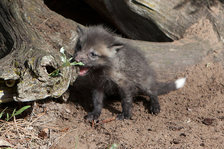 Red Fox kit biting a weed - CA