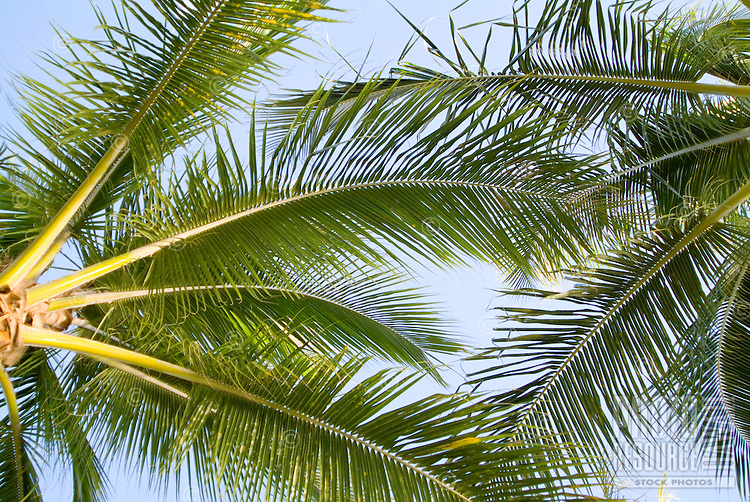 Shot of green palm fonds against a light blue sky