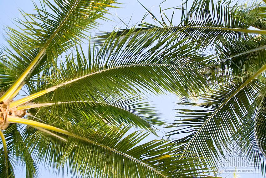 Shot of green palm fonds against a light blue sky