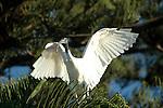 Sacred Ibis-Threskiornis aethiopica