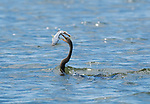 Anhinga, Anhinga anhinga, with a catfish in its beak. Tarcoles River, Costa Rica