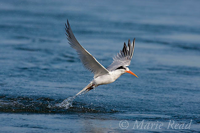 Elegant Tern (Sterna elegans), jumping out  of the water after diving for fish, Bolsa Chica Ecological Reserve, California, USA