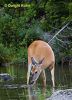 MA11-541z  Northern (Woodland) White-tailed Deer eating pond plants, Odocoileus virginianus borealis