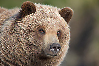 Portrait of a young grizzly bear in Denali National park, Alaska.