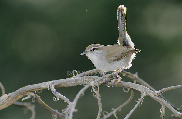 Bewick's Wren, Thryomanes bewickii, adult, Starr County, Rio Grande Valley, Texas, USA, March 2002