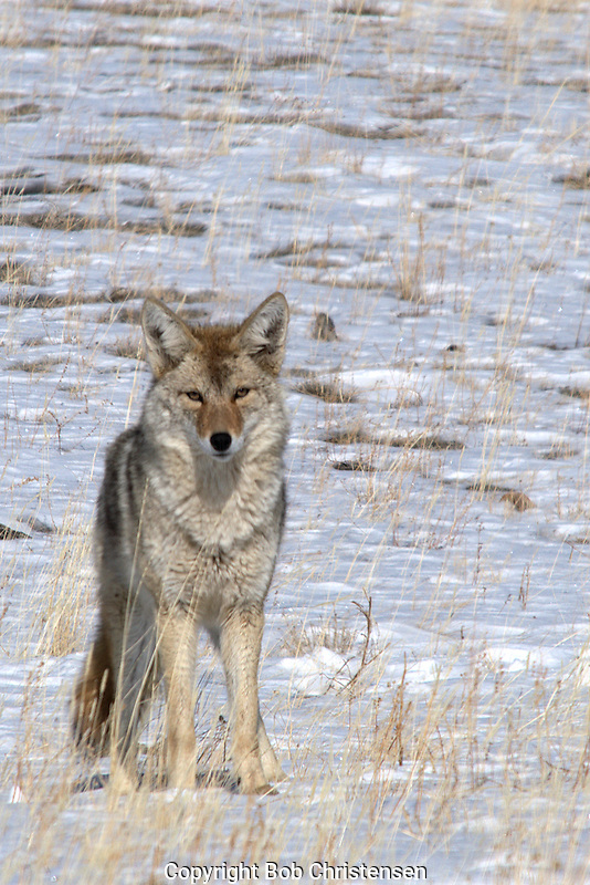 Photos of coyotes in Yellowstone Park