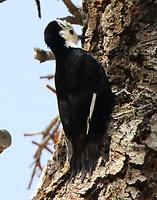 Female white-headed woodpecker