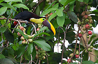 This species has gone through three different names since I first photographed.  First it was the Chestnut-mandibled, then the Black-mandibled and now it's the Yellow-throated toucan.