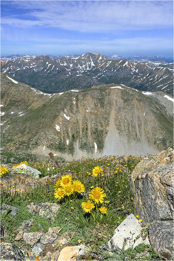 Hi atop the trail up LaPlata, one of Colorado's 14ers, these sunflowers (also known as Old Man of the Mountain) bloom each summer. Birds frequent this area, too, and I was fortunate enough to photograph a little guy in this Colorado Wildflower image.