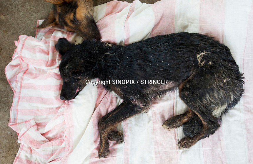 A sick dog is seen at a dog slaughterhouse in Yulin during the Yulin Dog Meat Festival, Yulin, Guangxi Province, China, 21 June 2016.<br /> <br /> Photo by STR / Sinopix