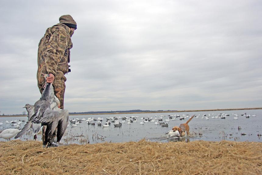 cd5dface513f1 Retriever bring in snow goose, Bayou Meto, Arkansas. First photo →