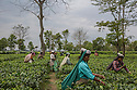 India – West Bengal: Tea pluckers at work at Mogulkata Tea Estate, in the Dooars region. The tea industry is India's second-largest employer, with over 3.5 million workers in more than 1,500 tea estates. In 2013-14, India accounted for 12 percent of the world tea exports.