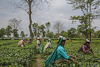 The Dark Side of Tea, India
