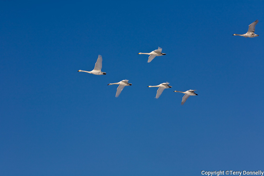 Hokkaido, Japan<br /> Whooper Swans (Cygnus cygnus) flying in a vee formation over Lake Kussharo, Akan National Park