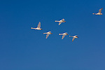 Hokkaido, Japan<br /> Whooper Swans (Cygnus cygnus) flying in a vee formation over Lake Kussharo, Akan National Park