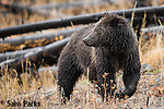 Grizzly bear. Yellowstone National Park, Wyoming.
