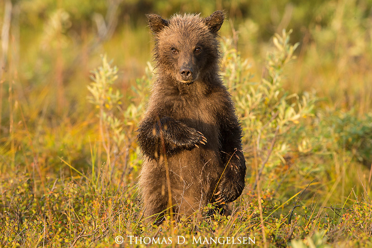 A grizzly bear cub stands in the late summer grass to investigate the surrounding world in Denali National Park, Alaska.
