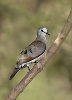 Black-billed Wood Dove - Turtur abyssinicus