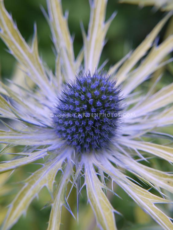 Eryngium Zabelii Neptune S Gold Plant Flower Stock