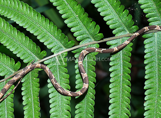 The body of one of the world's thinnest snake species, the Blunthead tree snake.