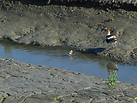 An adult Avocet with the chick it's been introducing to the water.  Lesson time appears to be over.
