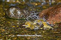 01528-00618 Summer Tanager (Piranga rubra) female bathing, Marion Co., IL