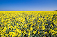 Oil seed rape in flower - Linclonshire, April