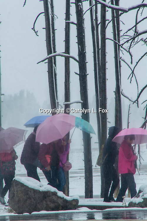 People walk in the snow with umbrellas in Yellowstone.